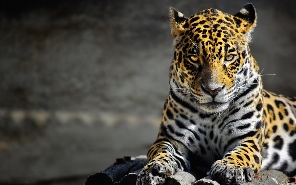 animals_cats_leopards_spots_fur_face_eyes_whiskers_predator_1920x1200 - Copia
