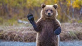Urso pardo acenando em Grizzly Island (Alaska, EUA)