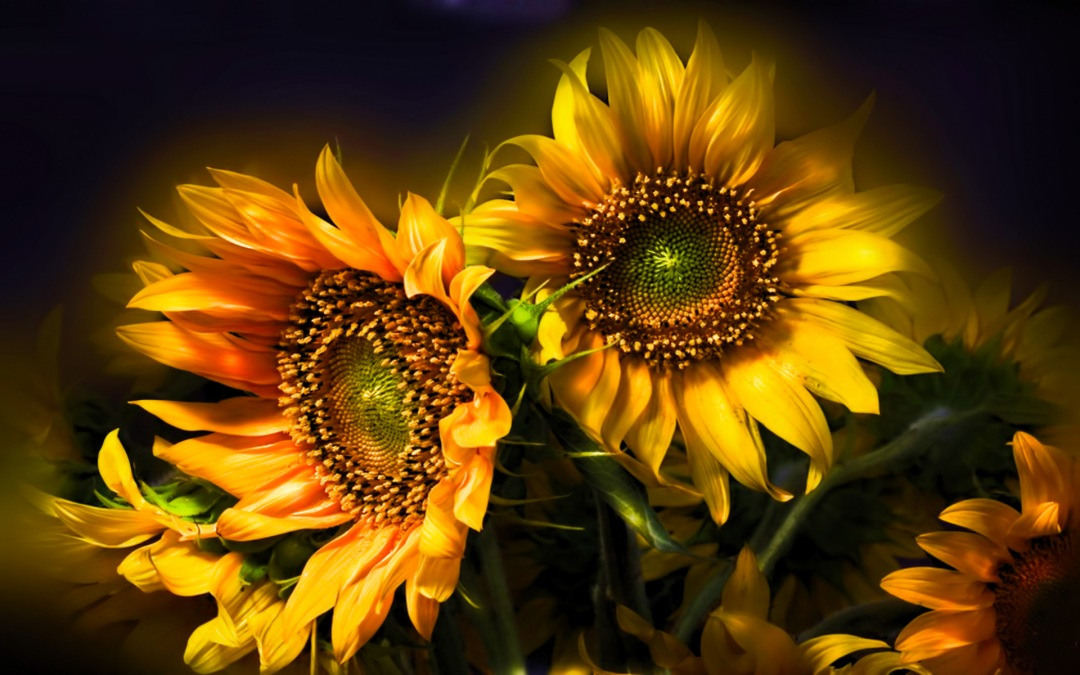 nature_flowers_still_life_bouquets_sunflowers_seed_petals_yellow_thanksgiving_seasonal_yellow_color_soft_contrast_1920x1200
