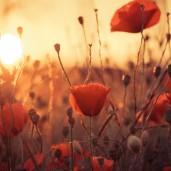 Sol - Ocaso - Flores - Papoulas