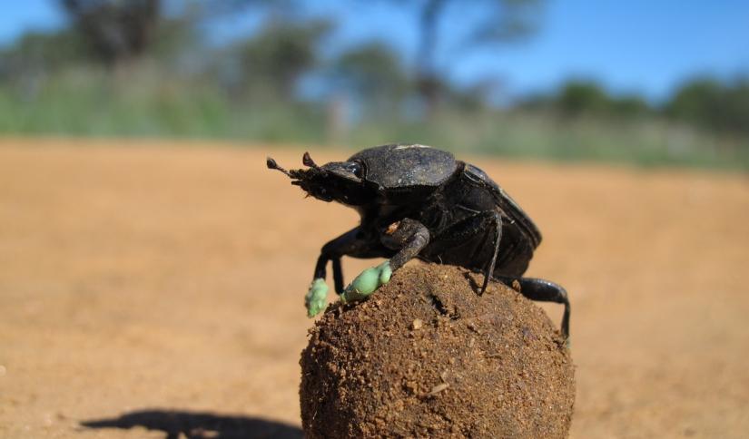 O destino final de um besourorola-bosta