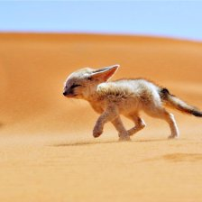 sand_fox_desert_wind_landscapes_africa_algeria_animals_nature_fennec_1280x720