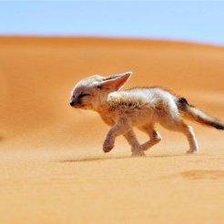 sand_fox_desert_wind_landscapes_africa_algeria_animals_nature_fennec_1280x720